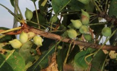 kakadu-plums-on-tree